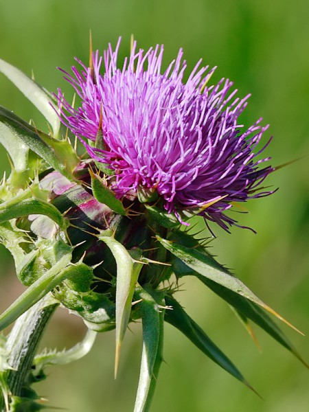 Lutte obligatoire contre les plantes nuisibles à l'agriculture